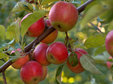 apple-tree_Small